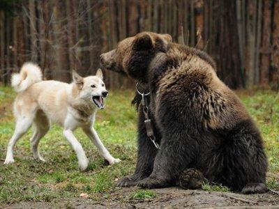 Лайки из шести стран соревновались в Смоленске в охоте на медведя и кабана