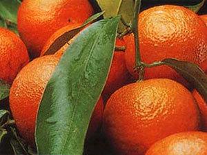 Россельхознадзор отбил атаку средиземноморской плодовой мухи