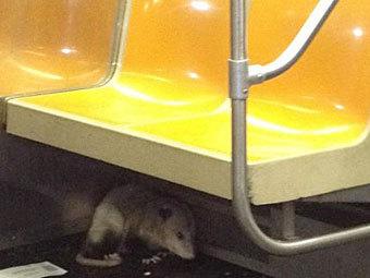 В вагоне нью-йоркского метро нашли опоссума
