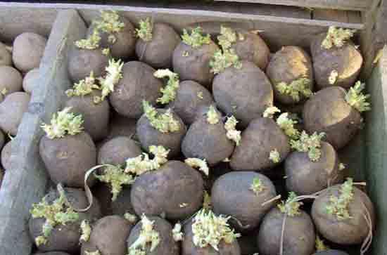 Фермеры из «Диониса» проштрафились на посадке подозрительного картофеля