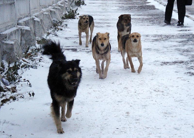 В Смоленске свора бродячих собак заживо разорвала женщину