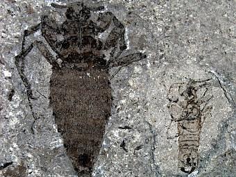 Палеонтологи обнаружили гигантскую блоху юрского периода