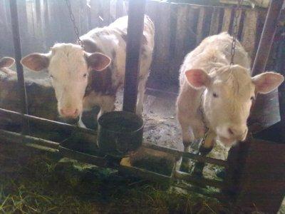 Россельхознадзор пригрозил закрыть еще одну молочную ферму