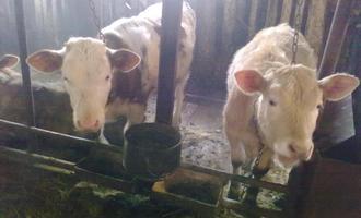 Молоко «Крутых» буренок сливают в землю