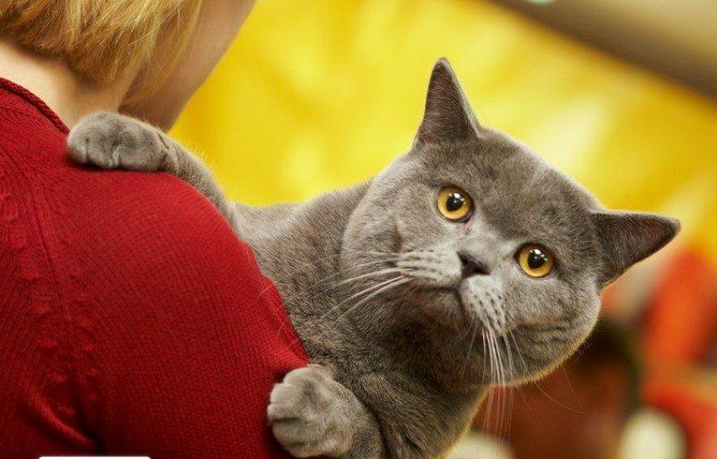 В кинотеатре «Октябрь» организуют международную выставку кошек