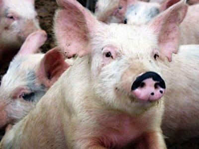 На крупной свиноферме не было должной защиты от коварного вируса