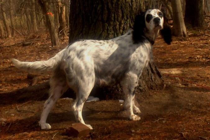 В Смоленске прошла выставка собак охотничьих пород