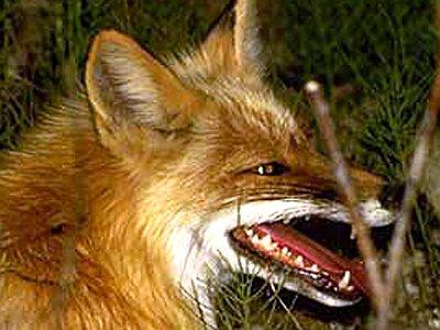 В регионе снизился уровень заболеваемости животных бешенством