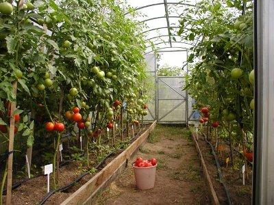 Региональные власти поддержат рублем производство тепличных овощей