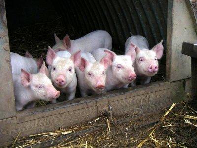 Воры облюбовали описанную за долги свиноферму