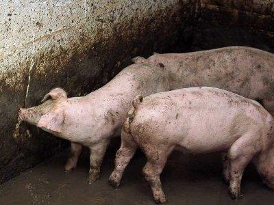 Свиноферму уже второго соцучреждения прикрыли за антисанитарию