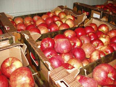 В Смоленск привезли 19 тонн яблок неизвестного происхождения