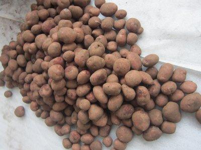 В Рославль привезли 20 тонн гнилого голландского картофеля