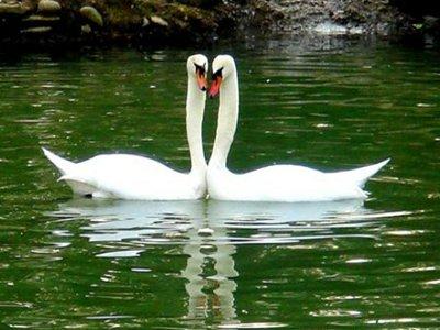 В пруду Лопатинского сада будут плавать лебеди и белые амуры