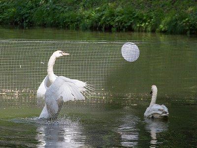 В пруд Лопатинского сада выпустили пару белоснежных лебедей