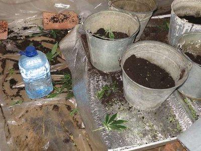 Сафоновский тюремщик выращивал коноплю у себя в гараже