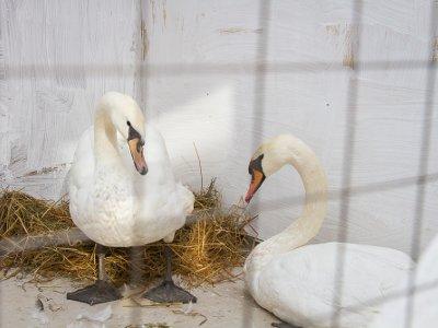 Лебедей из Лопатинского парка отправили на зимовку в теплый вольер