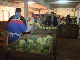 На Смоленщине собрали приличный урожай овощей