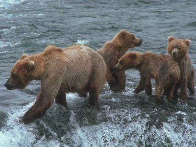В Поозерье насчитали полтора десятка медведей