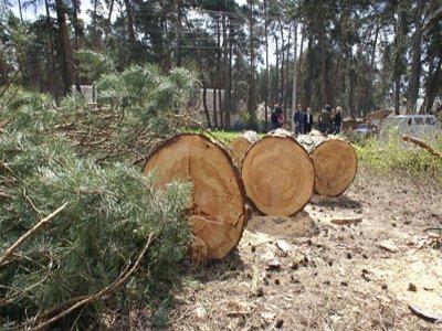 Семеро безработных спилили в шумячском лесу не те сосны