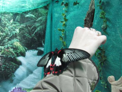 В Смоленск снова «прилетели» тропические бабочки