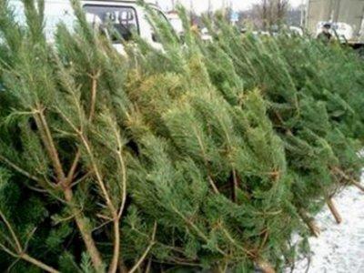 Операция «Ель» выявила два десятка расхитителей новогодних деревьев