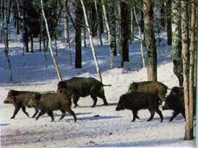 Африканская чума свиней поразила уже все районы Смоленщины
