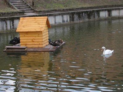 Зима избавила парковых лебедей от «межнациональных» конфликтов