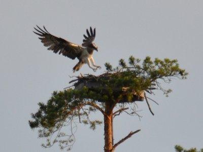 В Поозерье проверили востребованность искусственных гнезд у редких птиц