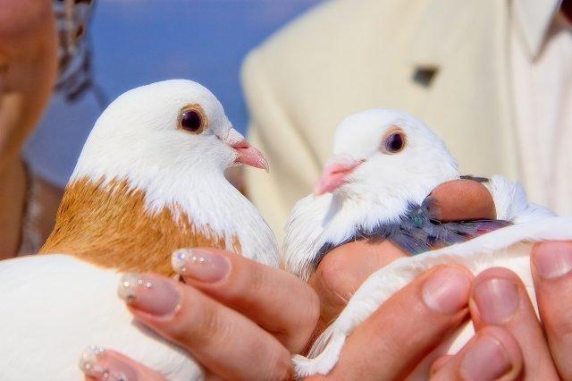 Символ свадебных голубей