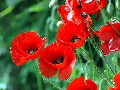 Селянка, украсившая свой участок цветами мака, попала под статью