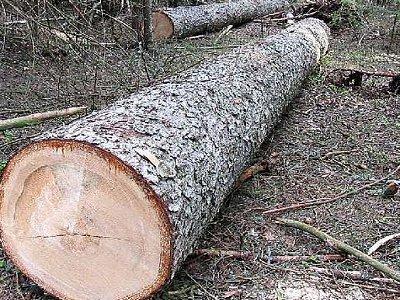 Не найдя нужного стройматериала для дачи, вязьмич спилил елки в лесу