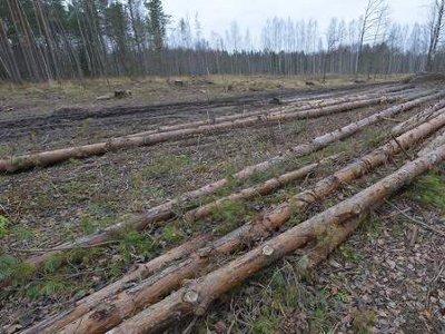 Рославльчанин незаконно нарубил деревьев почти на миллион рублей