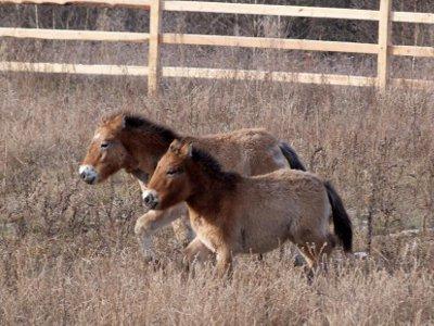 Смоляне, которые дадут клички лошадям Пржевальского, получат подарки от нацпарка