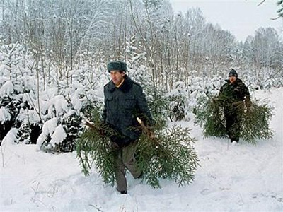 В кардымовском лесу вырубили три десятка елок для украинских беженцев