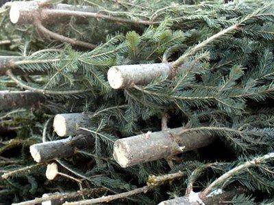 Заготовщик елок, «перепутавший» делянки в лесу, может сесть на семь лет