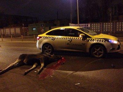 Жертвой столкновения с такси на Рославльском шоссе стал сохатый