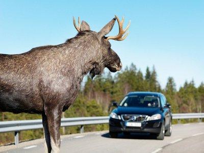 В мае под Смоленском лесные звери уже попали в девять ДТП