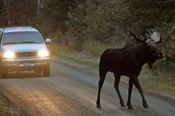 Под Смоленском водитель сбил лося