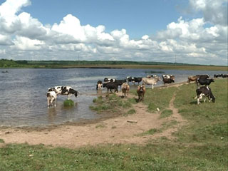 Фермерам из Демидовского района негде пасти коров