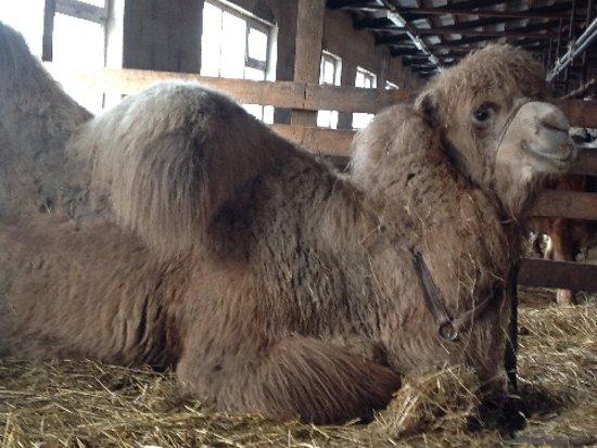 Пострадавшего в ДТП верблюда Васю прооперируют