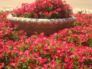 Для смоленских клумб закупят цветов почти на три миллиона