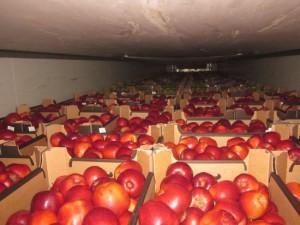 На Смоленщину завезли «молочные» яблоки