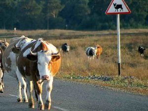 В Смоленской области легковушка сбила корову