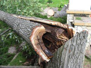 Юный смолянин скончался после падения на него дерева