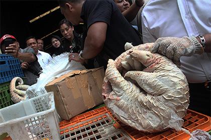 Полиция Индонезии изъяла у подпольных торговцев 657 замороженных муравьедов