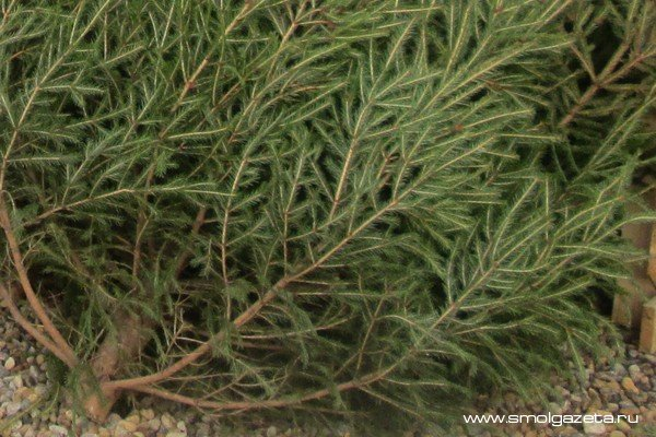Житель Холм-Жирковского района незаконно нарубил деревьев почти на 100 тысяч рублей