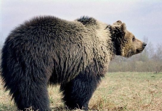 Под Смоленском медведь напугал прохожего