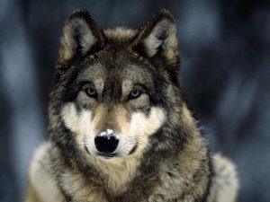 В смоленскую деревню пришел волк