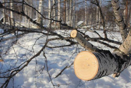 Смолянин незаконно нарубил деревьев на 580 тысяч рублей